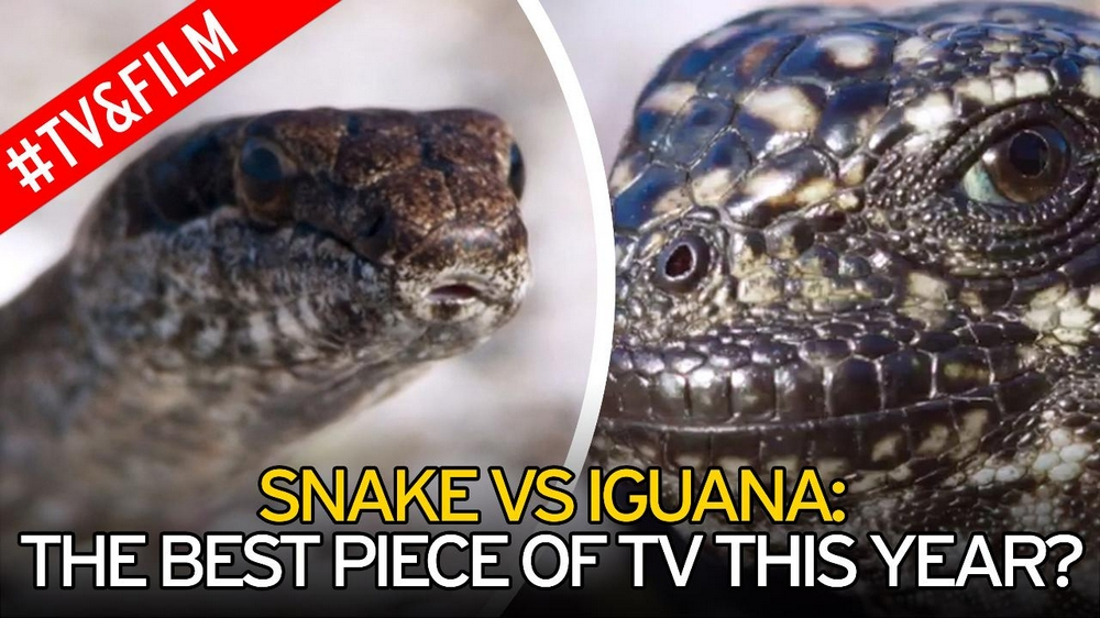 Snake VS Iguana: The Best Piece Of TV This Year?